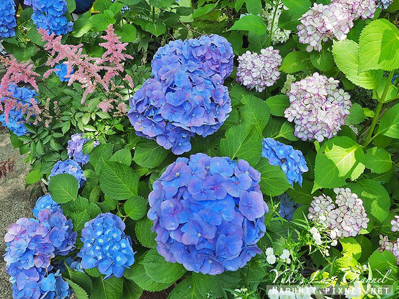 鐮倉明月院繡球花4.jpg