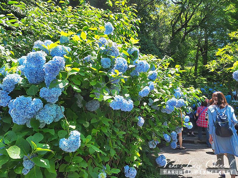 鐮倉明月院繡球花7.jpg
