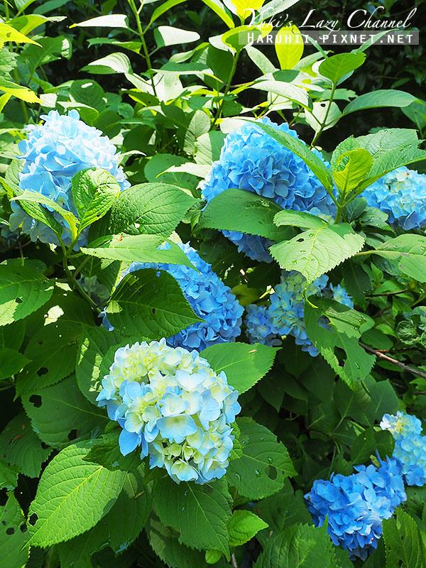 鐮倉明月院繡球花8.jpg