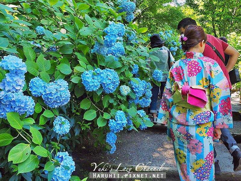 鐮倉明月院繡球花9.jpg