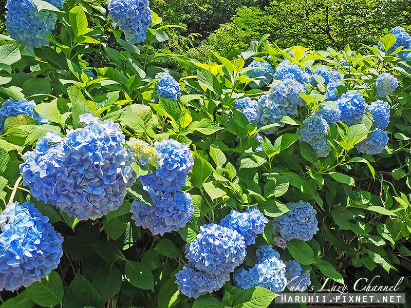 鐮倉明月院繡球花10.jpg
