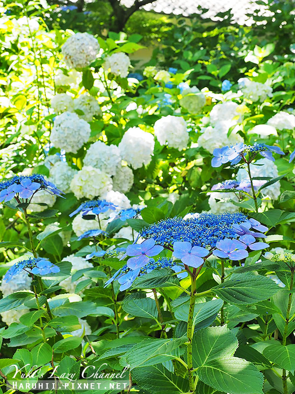 鐮倉明月院繡球花12.jpg