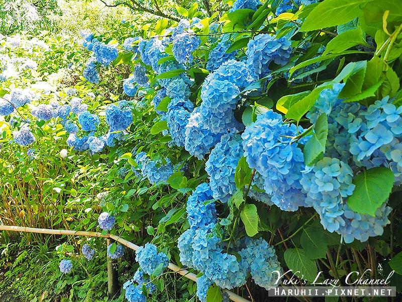 鐮倉明月院繡球花20.jpg