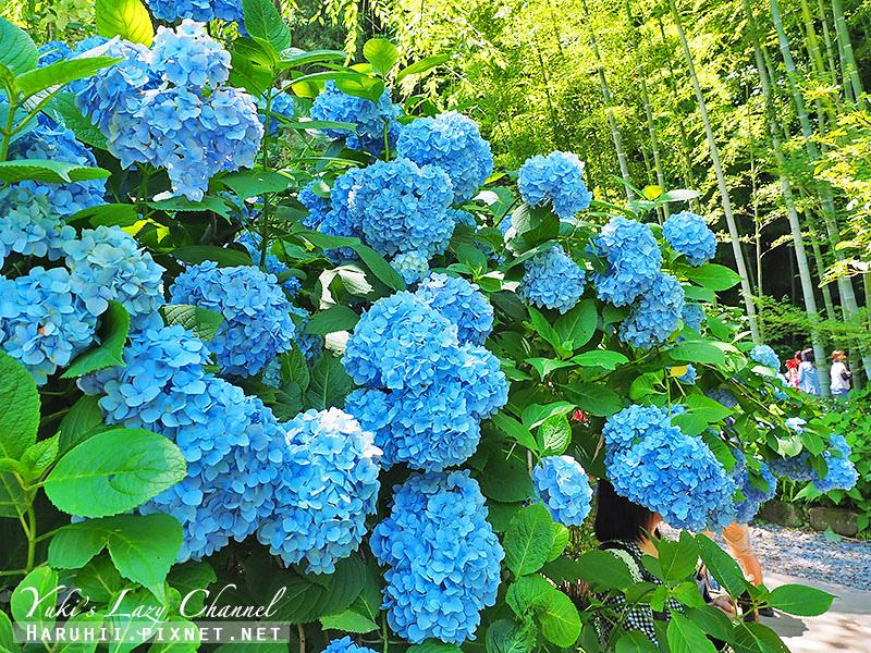 鐮倉明月院繡球花21.jpg