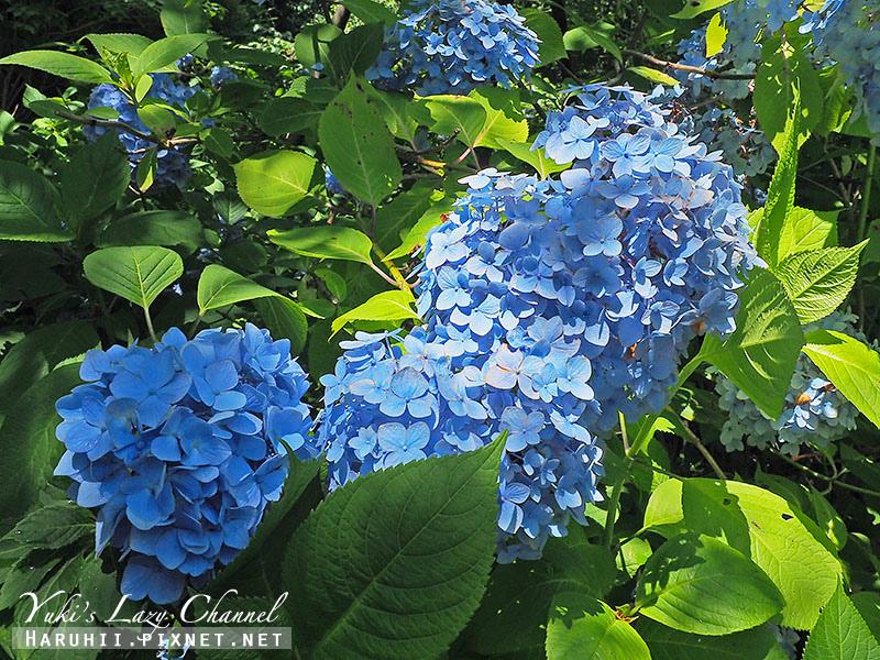 鐮倉明月院繡球花22.jpg