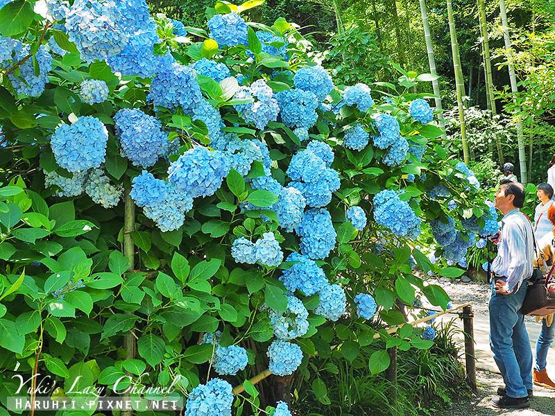 鐮倉明月院繡球花23.jpg