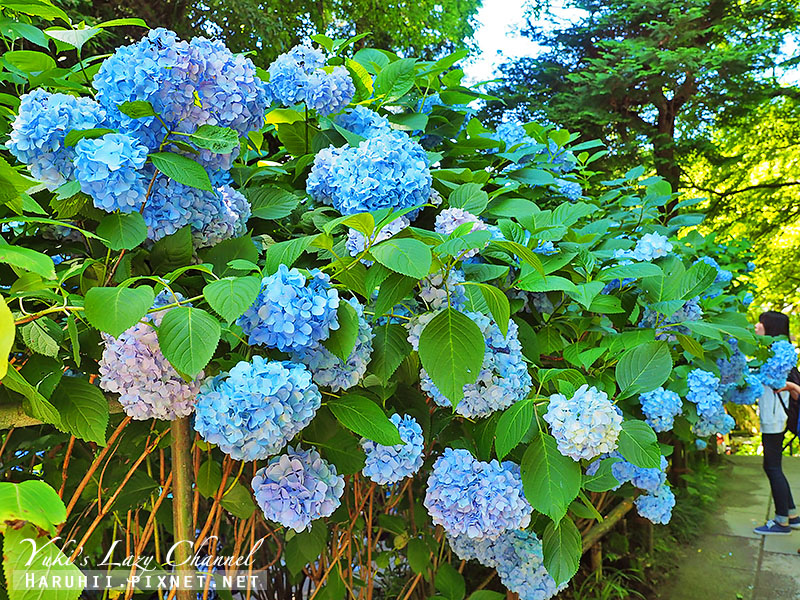 鐮倉明月院繡球花26.jpg