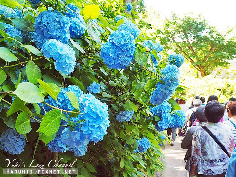 鐮倉明月院繡球花29.jpg