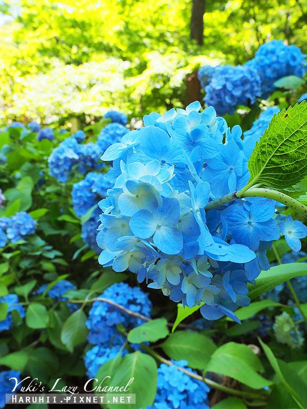 鐮倉明月院繡球花30.jpg