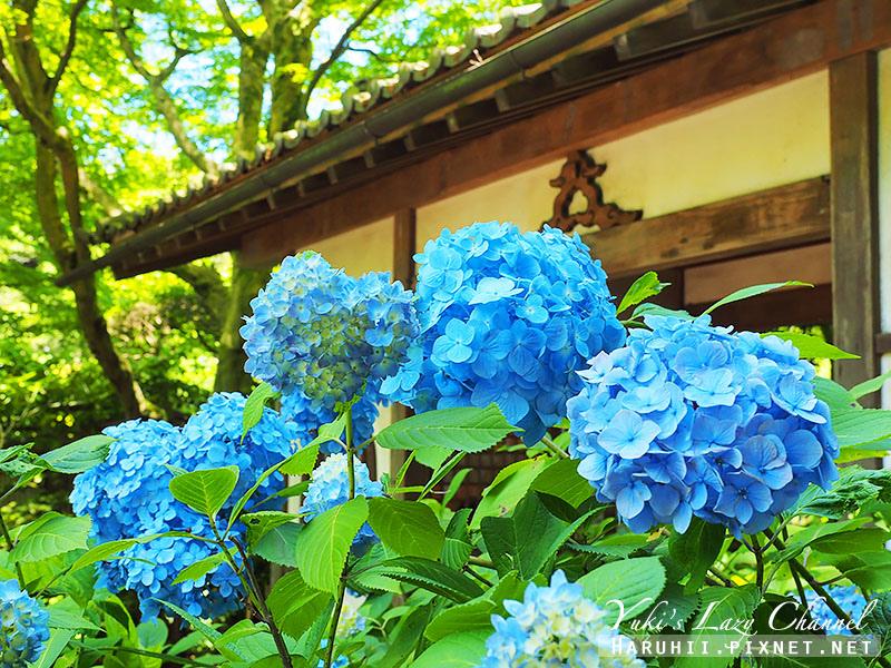 鐮倉明月院繡球花31.jpg