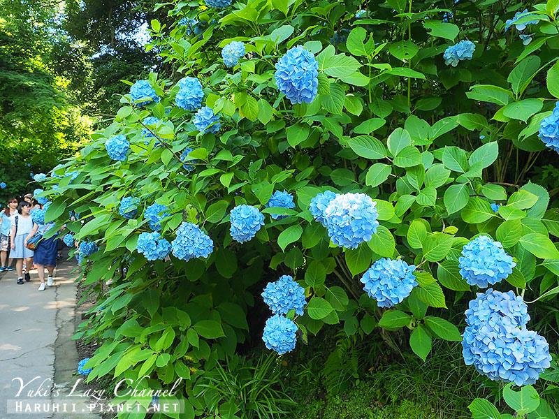 鐮倉明月院繡球花32.jpg