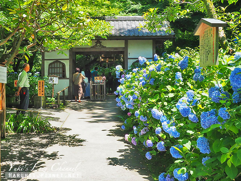 鐮倉明月院繡球花35.jpg