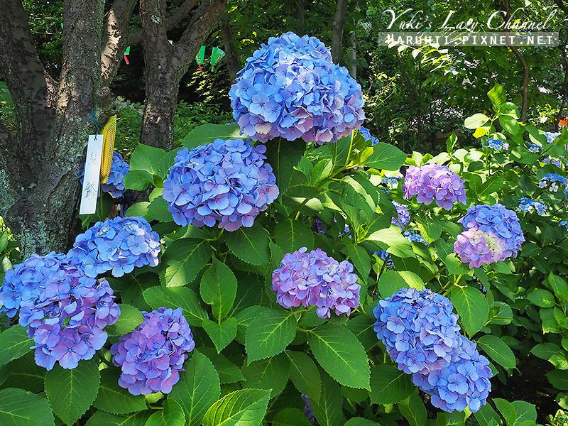白山神社繡球花3.jpg