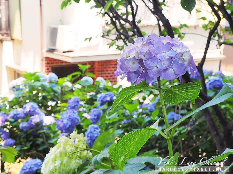 白山神社繡球花26.jpg
