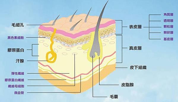 「皮膚構造圖」的圖片搜尋結果