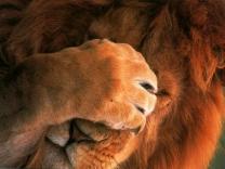 lion_1.jpg