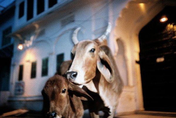 pushkar第一天夜裡 吃完晚餐遇見牛媽媽與牛寶貝