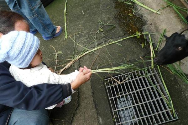 2010-10-31 咱們小沛沛在餵羊羊吃草.JPG