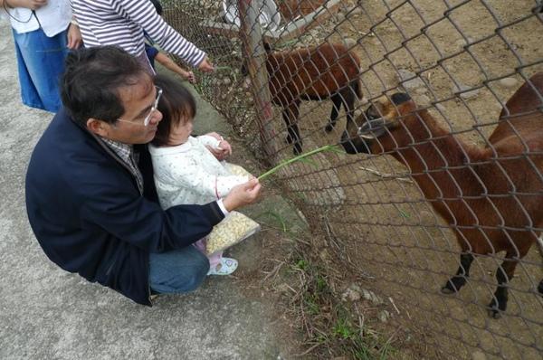 2010-10-31 又在餵小山羊吃草了.JPG