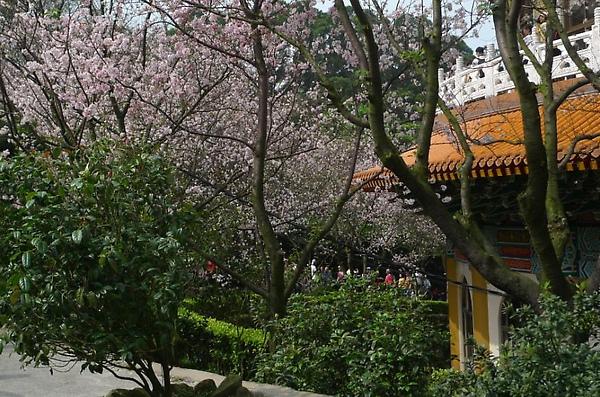 2010-03-06 好漂亮的櫻花唷.JPG