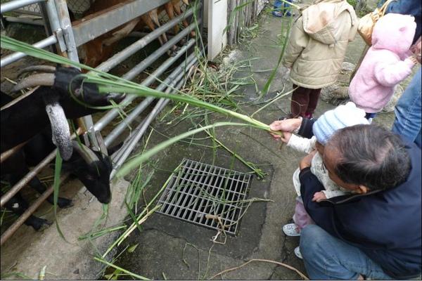 2010-10-31哇~你拿那麼大的草餵羊唷.JPG