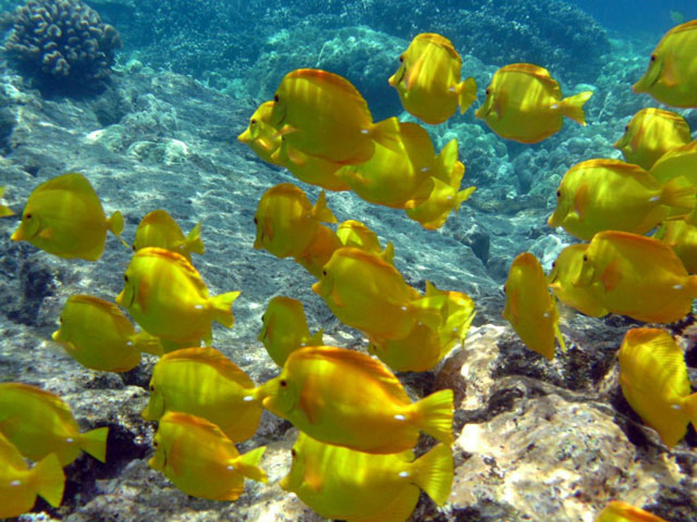 snorkeling-yellow-tangs-1024x768