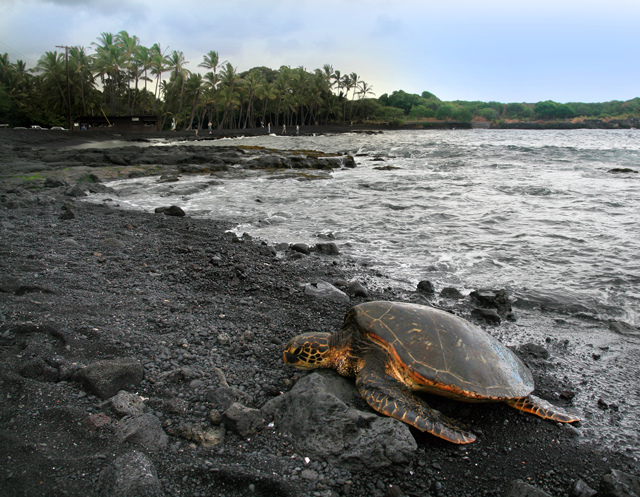 Green_turtle_Chelonia_mydas_is_basking_on_Punaluu_Beach_Big_Island_of_Hawaii