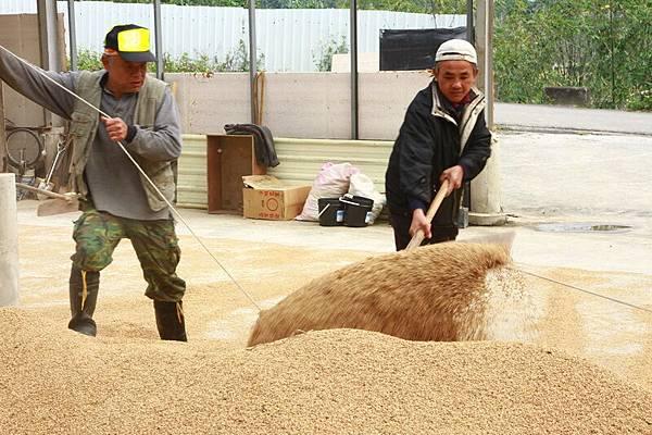 割稻活動1015