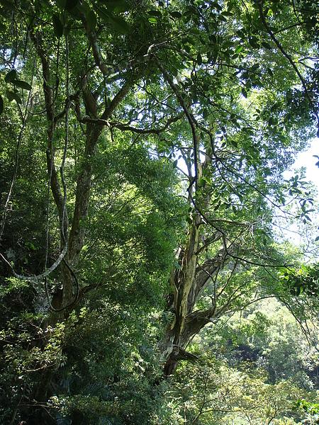 梢楠巨木.JPG