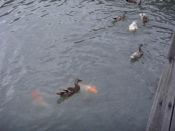 湖邊餵鴨鴨魚魚.JPG