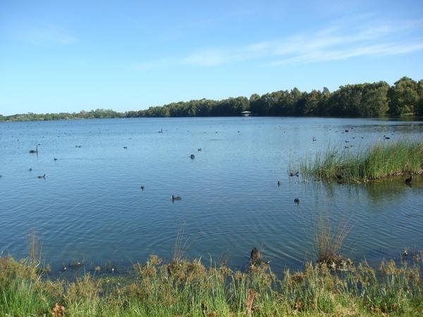 果真整片湖都聚集著天鵝.JPG