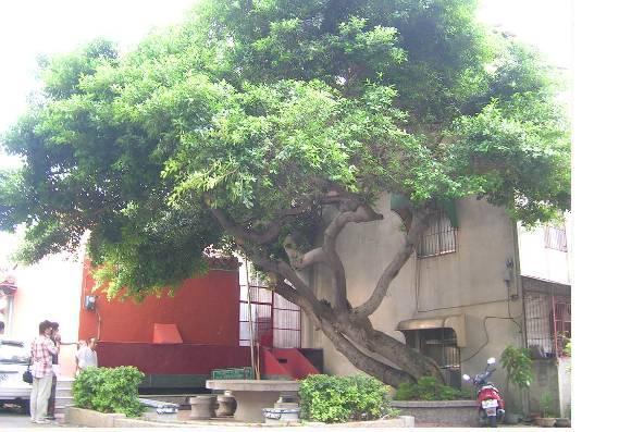 成福宮廟後的大樹已佇立在南勢數十年.JPG