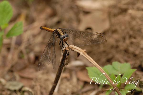 超難拍的蜻蜓