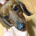 2009年2月19日拾獲咖啡色迷你臘腸狗女生