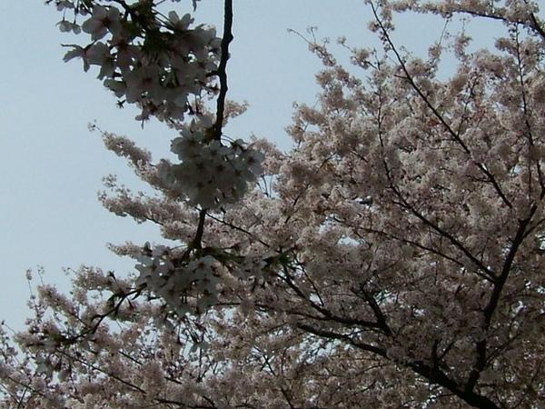 美麗櫻花,白色的也很美