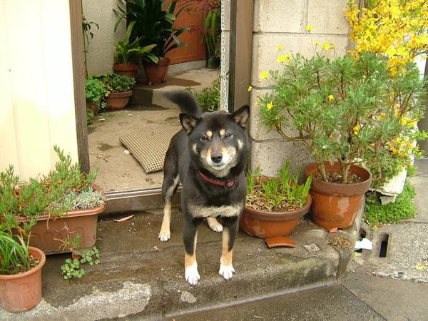 06/04/07要去上課時在旁邊巷子裡看到超級可愛的柴犬