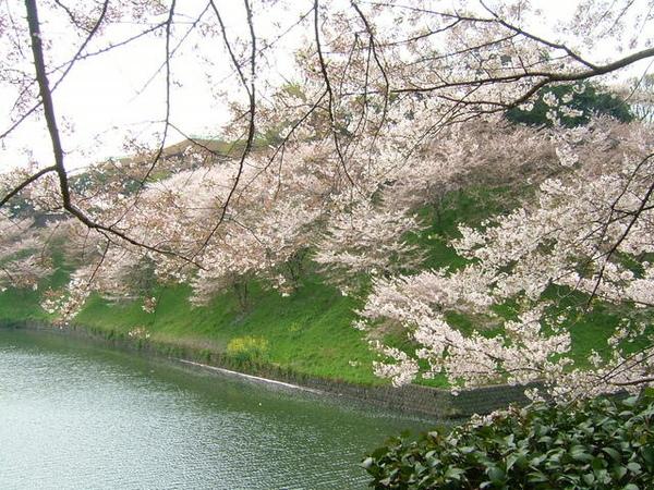 06/04/08早上好天氣,出門賞櫻去(九段下)