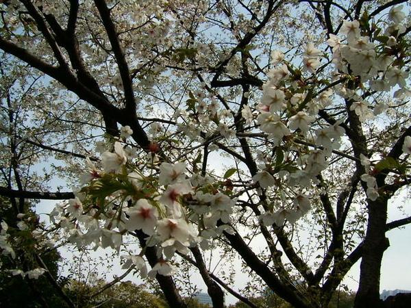 漂亮櫻花再次出現