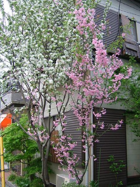 補上一張06/04/14在通學路上照的漂亮櫻花照