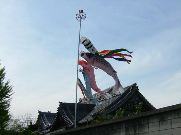迎風飄揚的鯉魚旗還真美麗