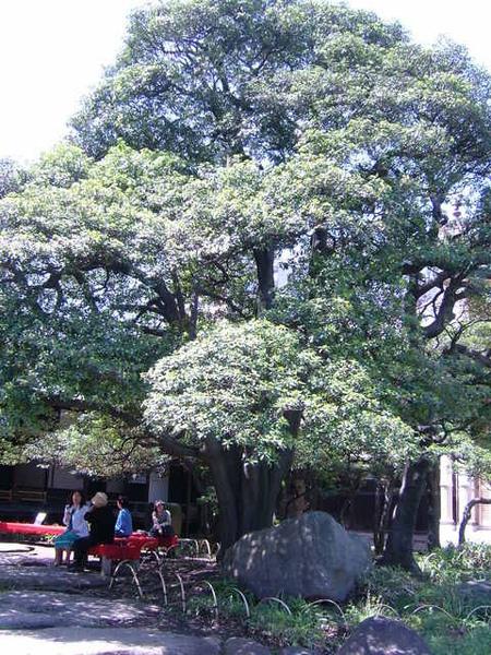 年代悠久的古樹,默默見證這片豪華洋宅的歷史