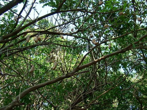 樹上是啥鬼玩意啊? 葫蘆?