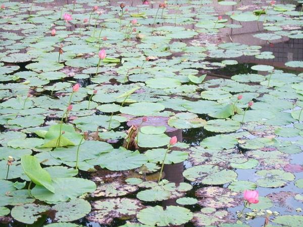 美麗蓮花池