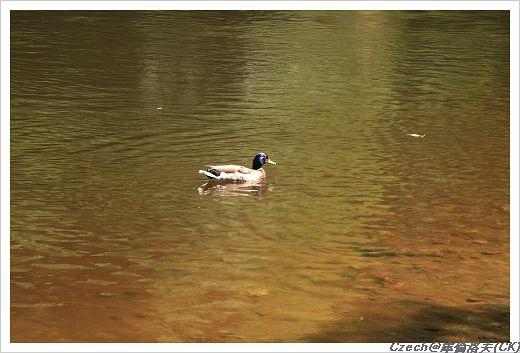 河裡的鴨子(鴛鴦)們都不怕人,還會主動靠近要麵包吃咧
