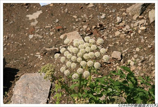 很像蒲公英的野花,可愛