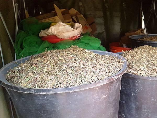 【菜脯埕】乾燥的黑芝麻豆莢蒐集於大桶子中