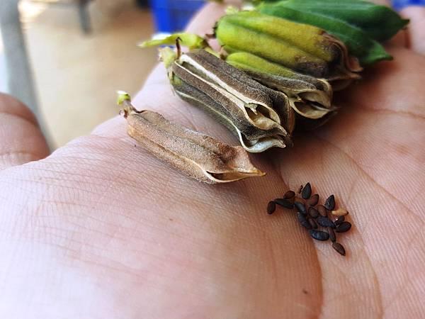 【菜脯埕】黑芝麻的豆莢,曬乾後豆莢會張開,黑芝麻就會跑出來