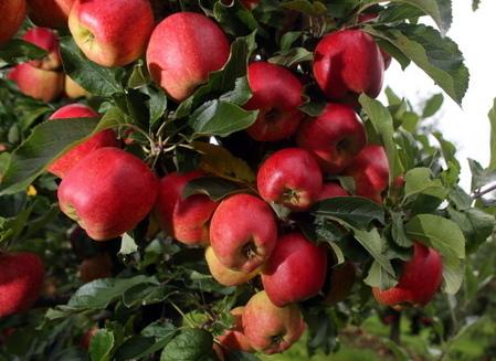 天然的排毒抗老帖—蘋果