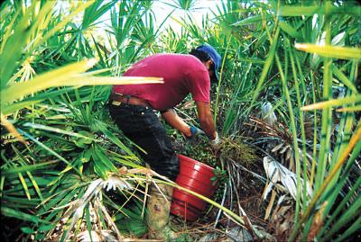 【探討】鋸棕櫚 對人類的好處