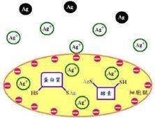 奈米銀與菌體蛋白質反應機制之示意圖